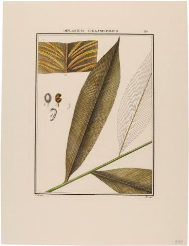 Diplazium Juglandifolium