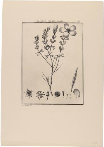 Balbisia Verticillata