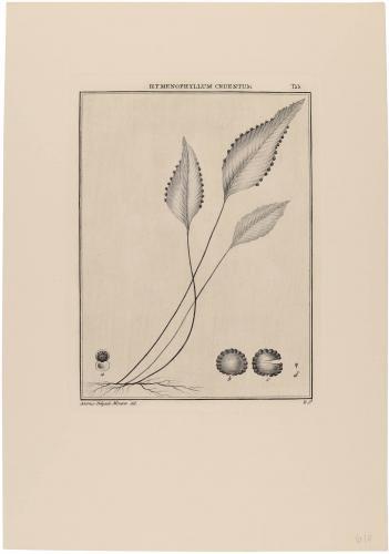 Hymenophyllum Cruentum