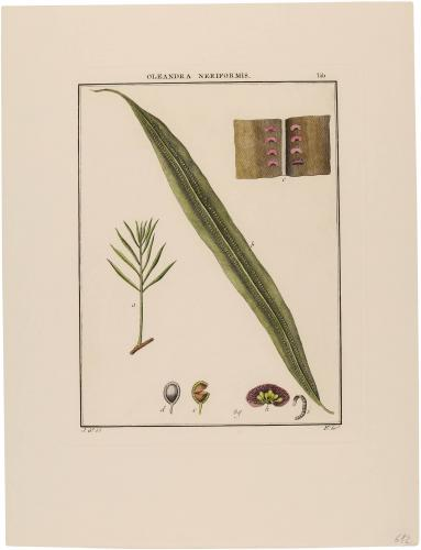 Oleandra Neriformis